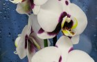 Orchidej_2