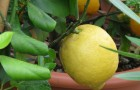 Citrusy 2
