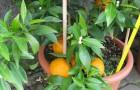 Citrusy 3