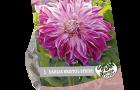 dahlia-bristol-stripe-per-1-urban-flowers