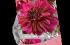 dahlia-purple-haze-per-1-urban-flowers