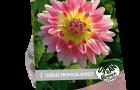 dahlia-tropical-sunset-per-1-urban-flowers