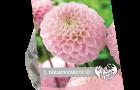 dahlia-wizard-of-oz-per-1-urban-flowers