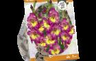 gladiolus-far-west-sp-per-7