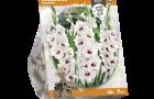 gladiolus-fiorentina-sp-per-7