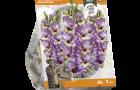 gladiolus-funny-fiction-sp-per-7